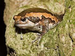 Branded Bull Frog
