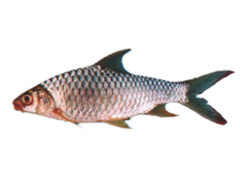 Goldfin tinfoil barb