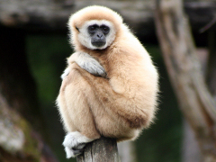 Crowned gibbon