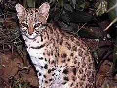 Tiger-cat