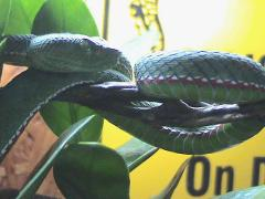 bamboo viper